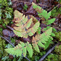Nahanni Oak Fern