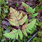 Nahanni Oak Fern