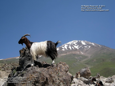 Damavand Goat