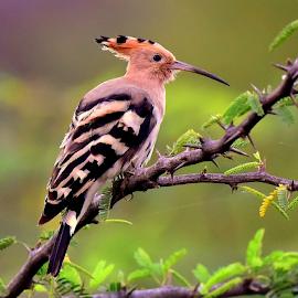 Common Hoppoe by Manoj Kulkarni - Animals Birds ( green, common, hoppoe, nature, background, bird, wildlife )