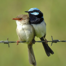 Superb Couple by Cathi Duck - Animals Birds ( couple, fairy wren, australia, cute, superb wren )