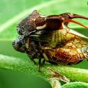 Machaerotid Spittle bug
