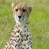 Cheetah Sound