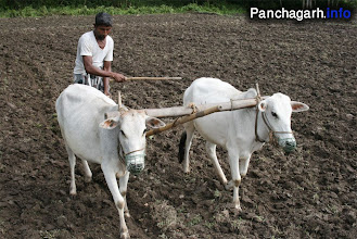 Photo: Cultivation in the villages of Panchagarh