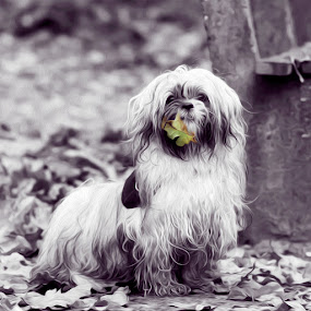 Autumn beauty by Azzeria Photography - Animals - Dogs Portraits ( beautiful, white, leaf, cute, portrait, photography, eyes, oil, azzeria, nature, effect, autumn, pet, pets, curls, square, dog, black )