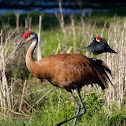 Sandhill Crane (Attacked by Red-winged Blackbirds)