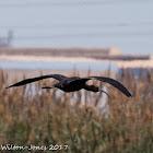 Glossy Ibis; Moríto
