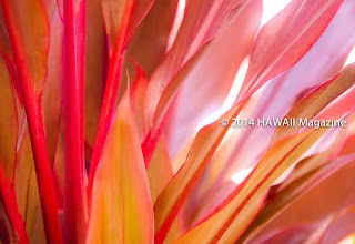 Photo: ABSTRACT CATEGORY, FINALIST. Red ti leaves on Maui. Photo by Denise Criss, Redding, California.