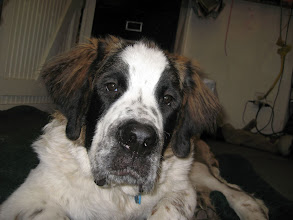 Photo: Forrest, a 10 month St. Bernard, enjoyed his first massage session at PC Pantry's!
