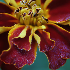 Mary Gold by Bob Raber - Nature Up Close Flowers - 2011-2013