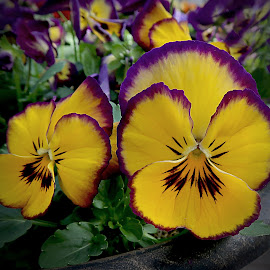 _Pansies by Millieanne T - Flowers Flower Gardens