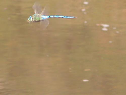 Libellula in volo di marioscala58