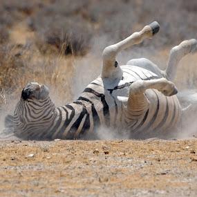 Roulade in dust.Zebra at Etosha in Namibia. by Lorraine Bettex - Animals Other Mammals (  )