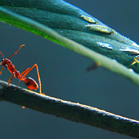 Semut by Tri Hendro Kusumo - Animals Insects & Spiders