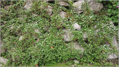 Photo: Cotoneastar (Cotoneaster horizontalis Decne) - din Turda,  Piata 1 Decembrie 198, spatiu verde - 2019.05.16