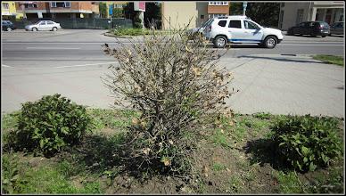Photo: Laur (Ilex aquifolium variegata) - de pe Calea Victoriei, Mr.2 - spatiu verde - 2017.06.04