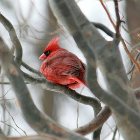 Northern Cardinal by Nancy Daugherty - Animals Birds ( cardinal, midwest, wildlife, birds, willow tree )