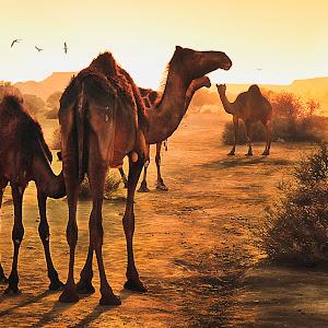 Camels of Arabia1.jpg