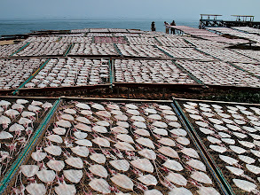 Photo: squid-drying operation along the gulf coast in Pranburi