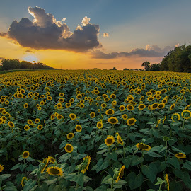 Sunflower field by Bo Stamper - Flowers Flowers in the Wild ( nature, sunset, sunflower, landscape, floral )