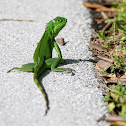Green Iguana (Juvenile)
