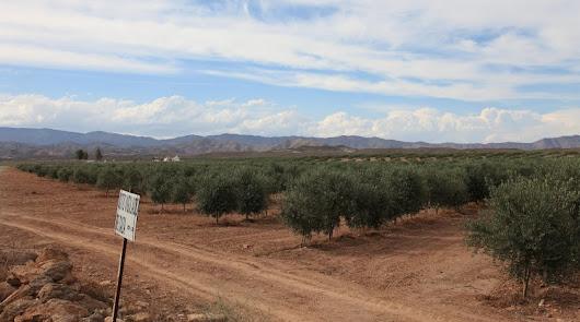 """Syngenta demuestra en campo que sus tratamientos reducen la """"vecería"""" del olivo"""