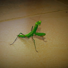 Mantis by Nelson Coelho - Animals Insects & Spiders