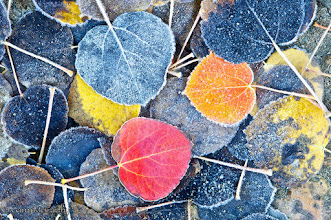 Photo: Aspen leaves on a cold Fall morning, Bishop, CA.  #FallFriday