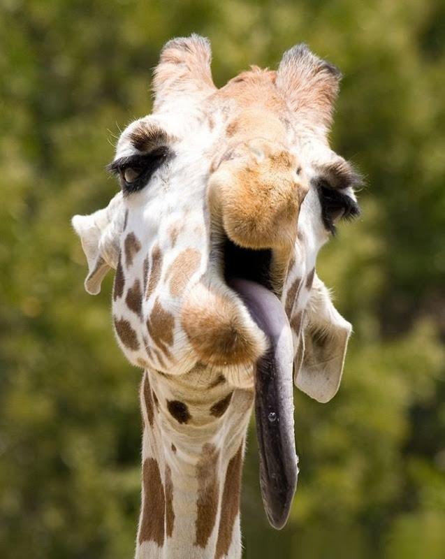 Tongues estranho animal