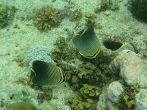 Photo: Chaetodon baronessa (Eastern Triangular Butterflyfish), Siquijor Island, Philippines