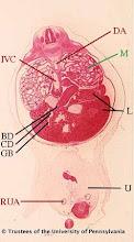 Photo: Circulatory System (red labels): DA - Descending Aorta IVC - Inferior Vena Cava RUA - Right Umbilical Artery  Digestive System (black labels): BD - Common Bile Duct CD - Cystic Duct GB - Gall Bladder L - Liver U - Umbilicus  Urogenital System (green labels): M - Mesonephros