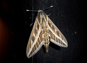 Photo: Hyles livornica  Lepidoptera > Sphingidae