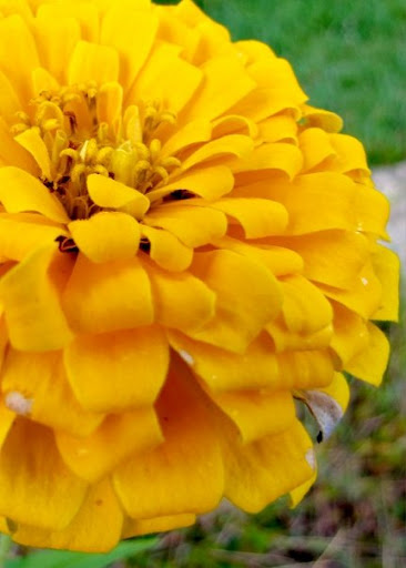 Yellow Zinnia by Doug Hagler