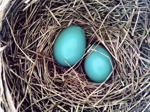 Robin Eggs by Doug Halger