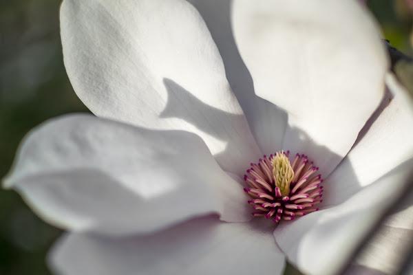 Magnolia di Emanuele Ferro