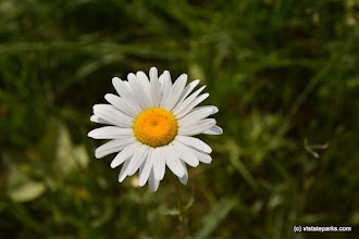 Photo: A close-up view of a daisy at Molly Stark State Park by Bill Steele