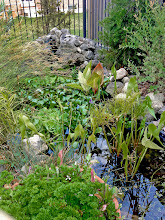 Photo: Most of the plants in this pond are edible!