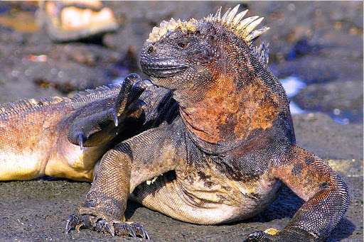 Galapagos-iguana-about-to-scratch - An iguana spotted in the Galápagos.