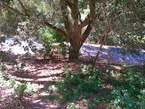 Photo: Poison oak doing well at the edge of this live oak canopy.