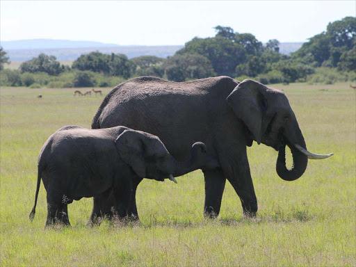 A female elephant and her calf graze around Maasai Mara National Reserve on May 12, 2018.