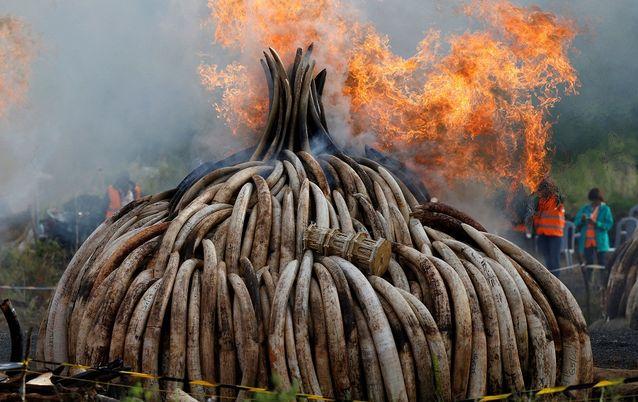 Druk groei op die EU om ivoorhandel binne sy grense te beëindig