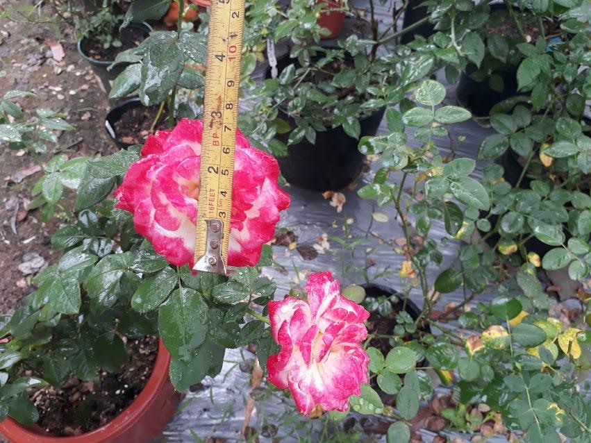 Đo đường kính hoa của hồng thơm Double Delight