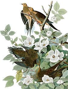 哀鴿-圖片/維基百科