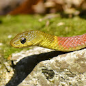 Red-Necked Keelback (Venomous)
