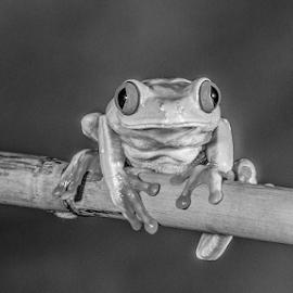 Frog by Garry Chisholm - Black & White Animals ( macro, nature, tree frog, amphibian, garry chisholm )