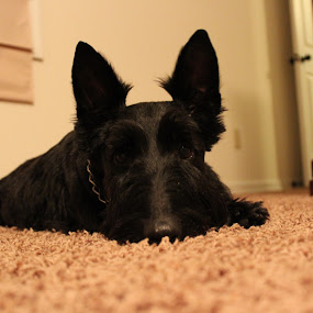 Cody  by Heather Taulbee McIntyre - Novices Only Pets ( dogs, scottie, pets, scottish terrier )