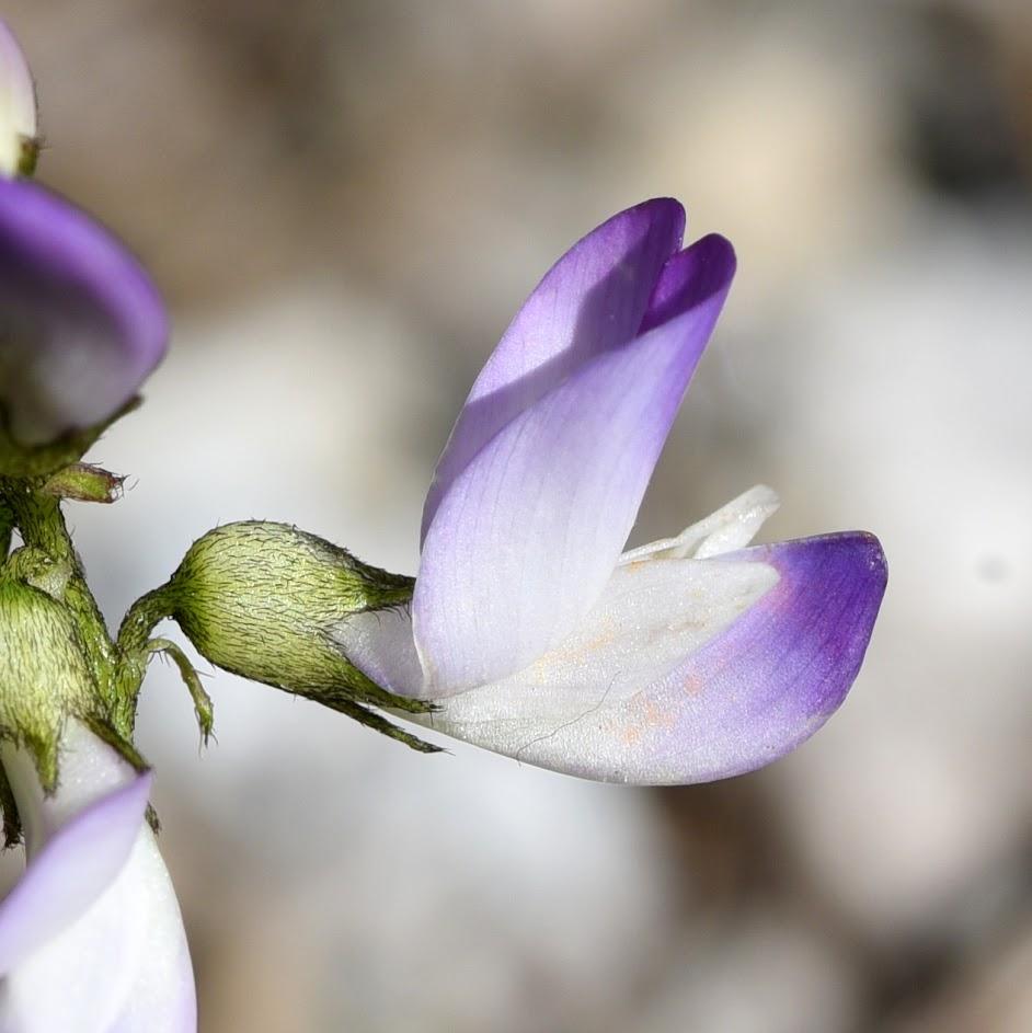 kelkblad en bloem