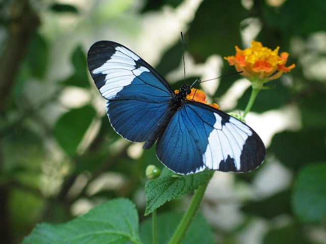 Leptiri Sapho-Longwing-Blue