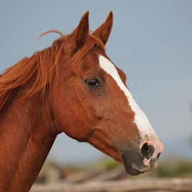 Horse by Rute Martins - Animals Horses ( horse, head, headshot, brown and white, brown,  )