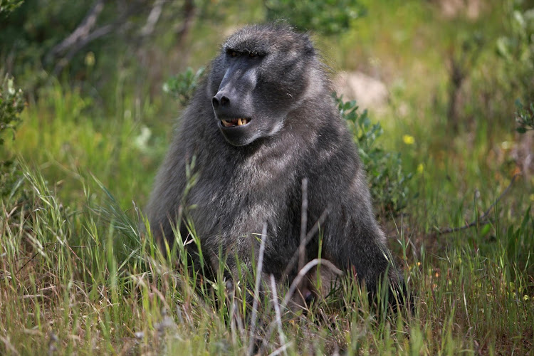 A baboon was spotted in Northcliff, Johannesburg, on Wednesday.